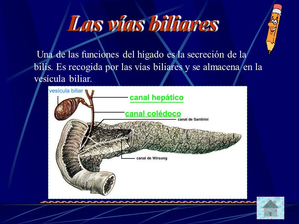 Las vías biliares Una de las funciones del hígado es la secreción de la bilis.