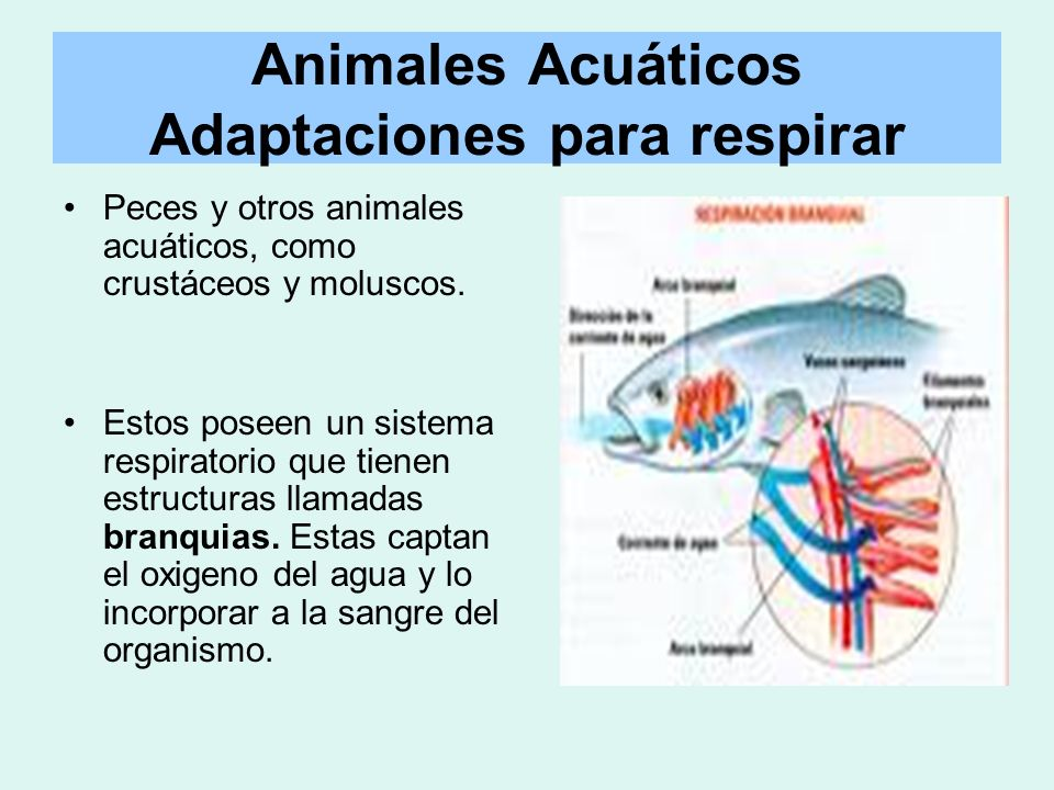 Animales Acuáticos Adaptaciones para respirar