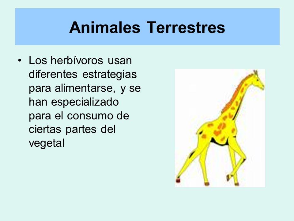 Animales Terrestres Los herbívoros usan diferentes estrategias para alimentarse, y se han especializado para el consumo de ciertas partes del vegetal.
