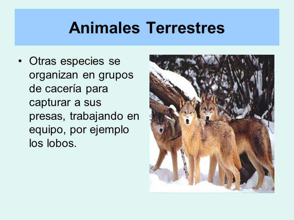 Animales Terrestres Otras especies se organizan en grupos de cacería para capturar a sus presas, trabajando en equipo, por ejemplo los lobos.
