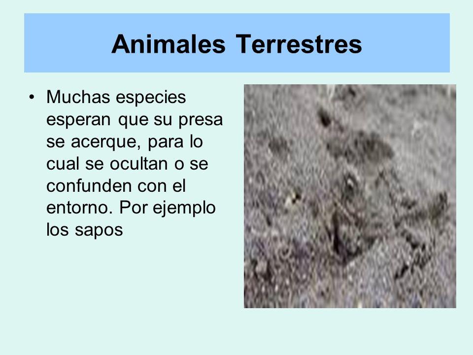 Animales Terrestres Muchas especies esperan que su presa se acerque, para lo cual se ocultan o se confunden con el entorno.