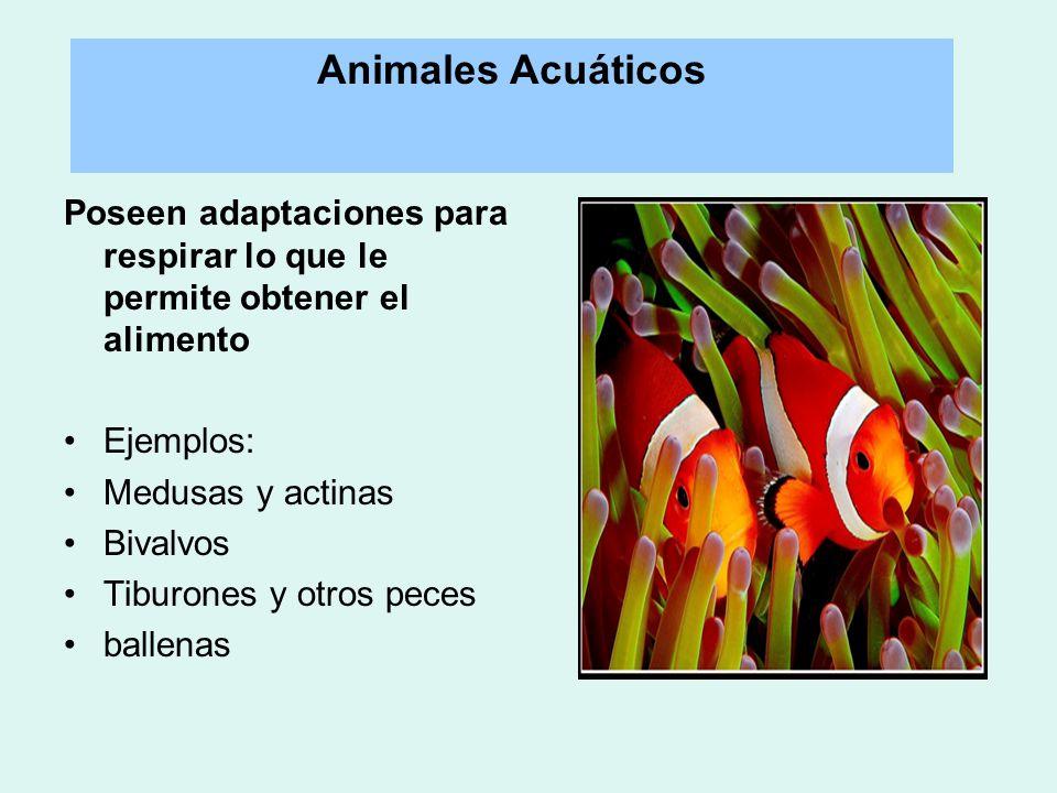 Animales Acuáticos Poseen adaptaciones para respirar lo que le permite obtener el alimento. Ejemplos: