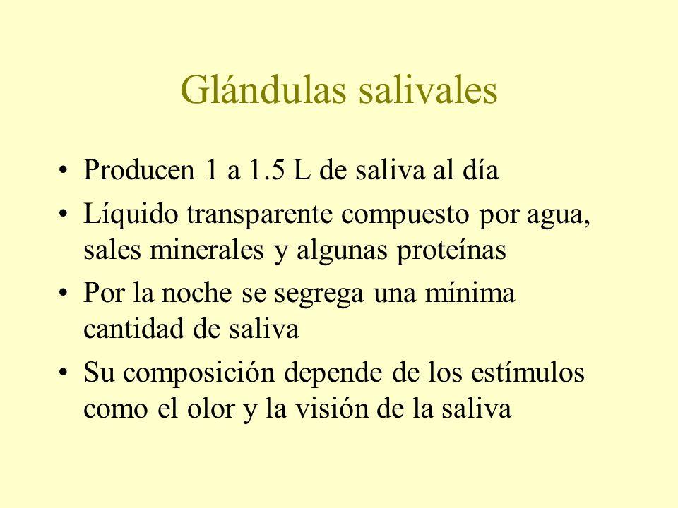 Glándulas salivales Producen 1 a 1.5 L de saliva al día