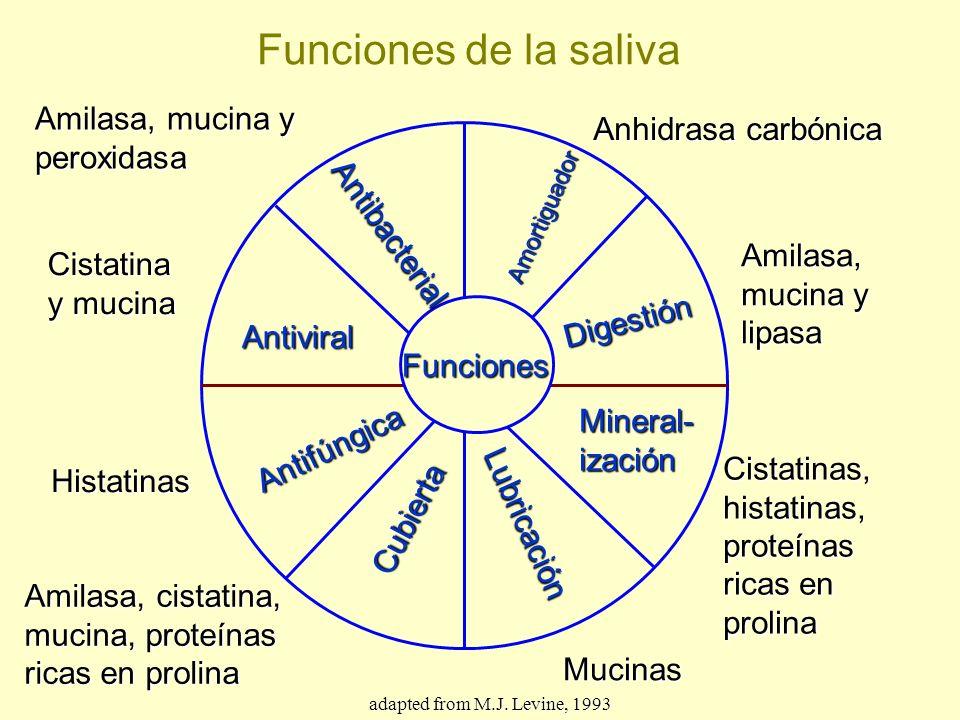 Funciones de la saliva Amilasa, mucina y peroxidasa