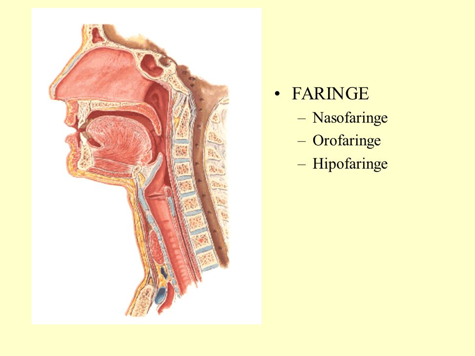 FARINGE Nasofaringe Orofaringe Hipofaringe