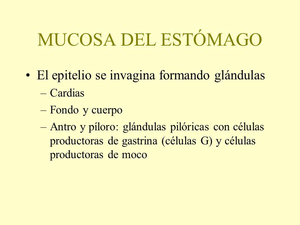 MUCOSA DEL ESTÓMAGO El epitelio se invagina formando glándulas Cardias