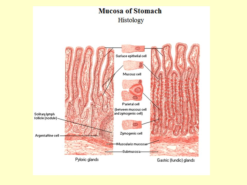 Closely associated with parietal cells are mucous neck cells, which appear singly, close to parietal cells or in groups of two or three in the oxyntic gland neck or isthmus. Mucous neck cells differ from their surface counterparts in their synthesis of acidic, sulfated mucus rather than the neutral mucus. Additionally, mucous neck cells have basal nuclei and larger mucous granules around the nucleus rather than apically located granules. Function of the two cell types appears different in that surface mucous cells are cytoprotective, whereas the mucous neck cell functions as a stem cell precursor for surface mucous, parietal, chief, and endocrine cells.