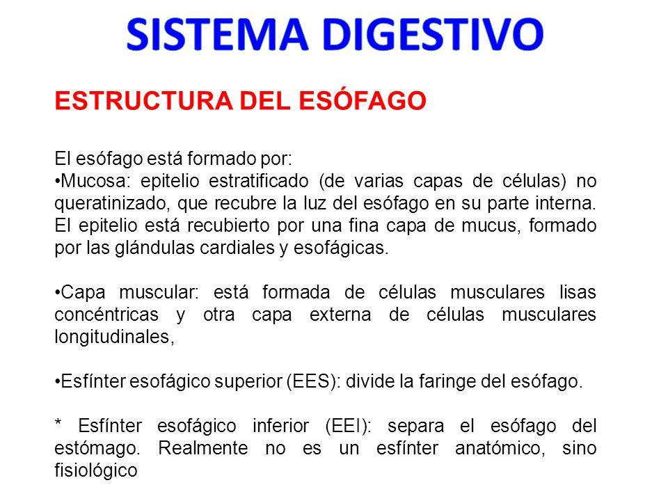 SISTEMA DIGESTIVO ESTRUCTURA DEL ESÓFAGO El esófago está formado por: