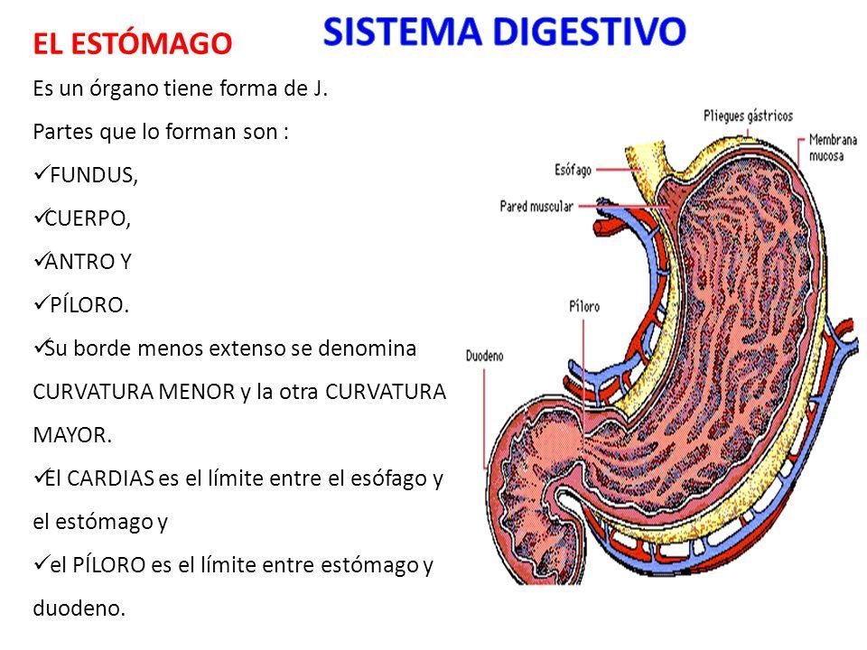SISTEMA DIGESTIVO EL ESTÓMAGO Es un órgano tiene forma de J.