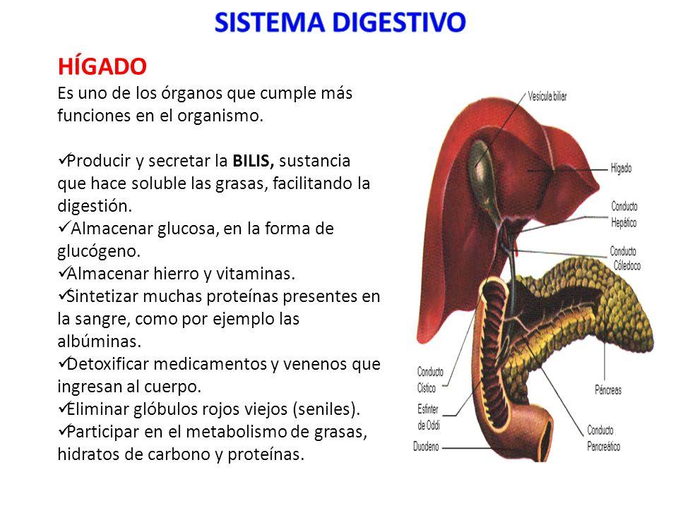 Lujo Función Del Hígado En El Sistema Digestivo Bandera - Anatomía ...