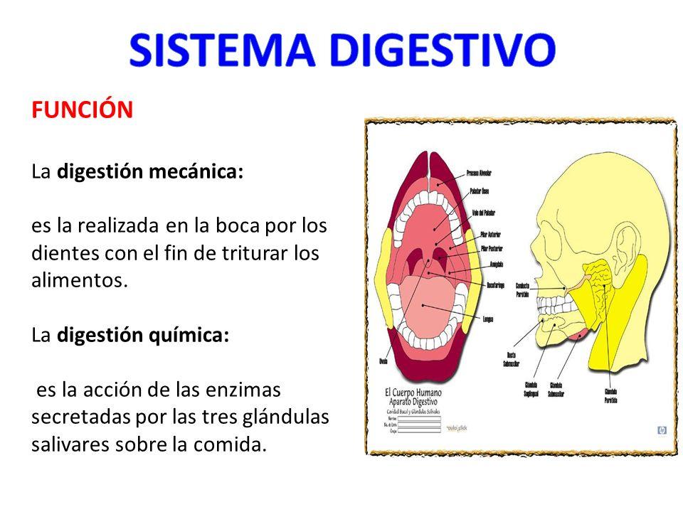 SISTEMA DIGESTIVO FUNCIÓN La digestión mecánica: