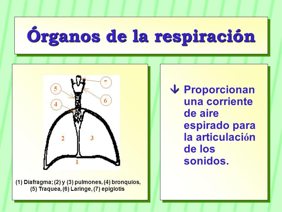 Órganos de la respiración