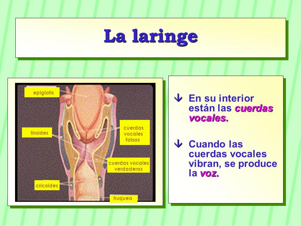 La laringe  En su interior están las cuerdas vocales.