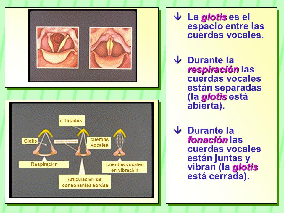  La glotis es el espacio entre las cuerdas vocales.