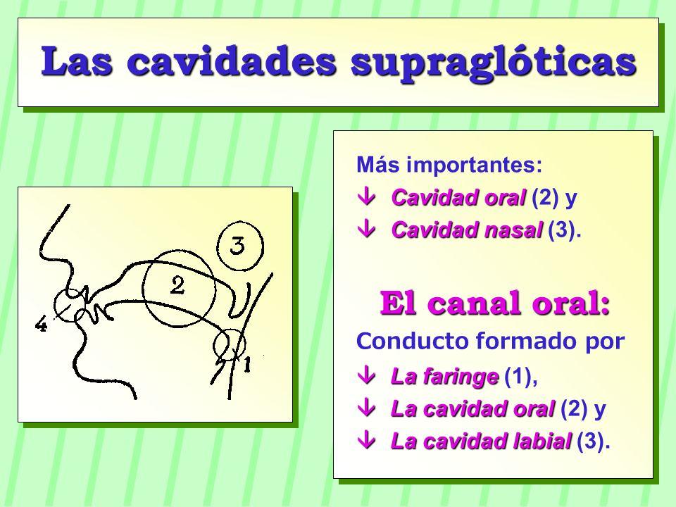 Las cavidades supraglóticas