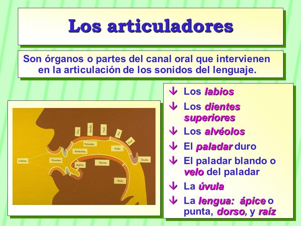 Los articuladores Son órganos o partes del canal oral que intervienen en la articulación de los sonidos del lenguaje.