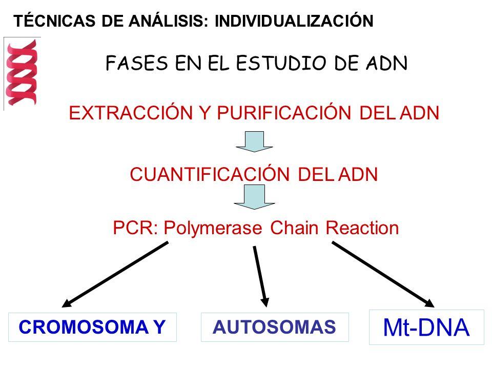 Mt-DNA FASES EN EL ESTUDIO DE ADN EXTRACCIÓN Y PURIFICACIÓN DEL ADN