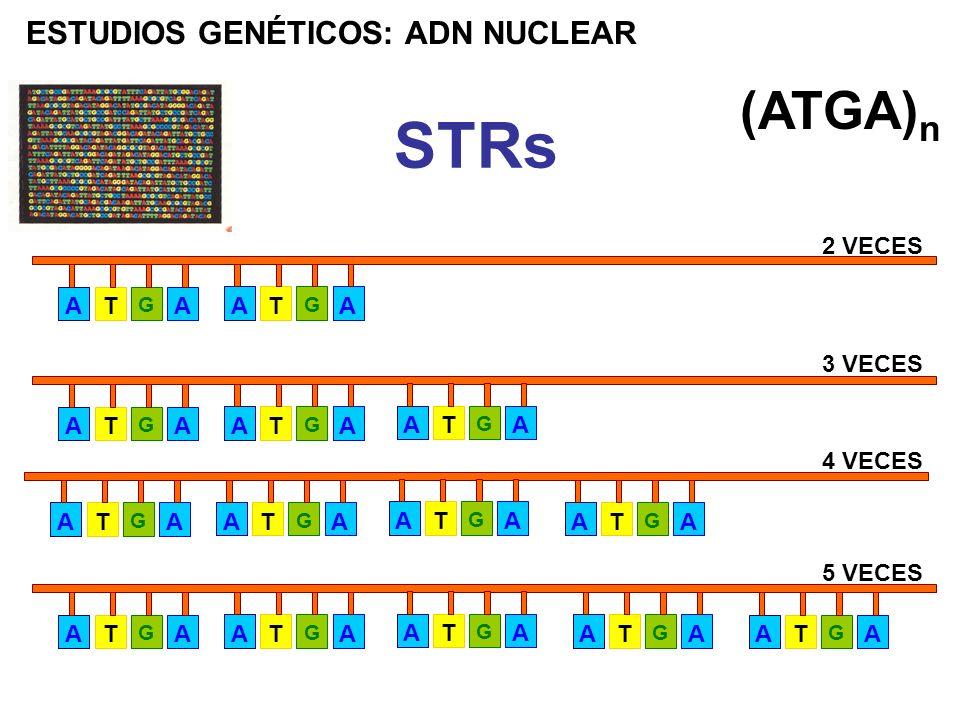 STRs (ATGA)n ESTUDIOS GENÉTICOS: ADN NUCLEAR A T 2 VECES A T 3 VECES A
