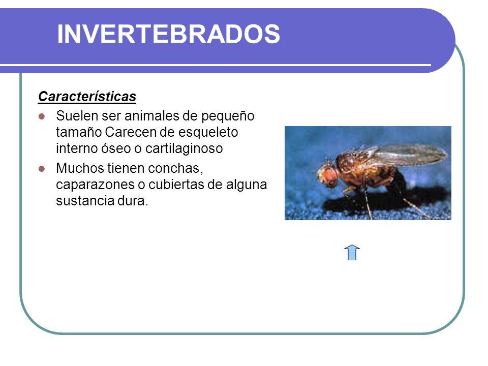 INVERTEBRADOS Características