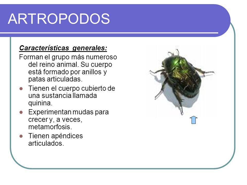ARTROPODOS Características generales: