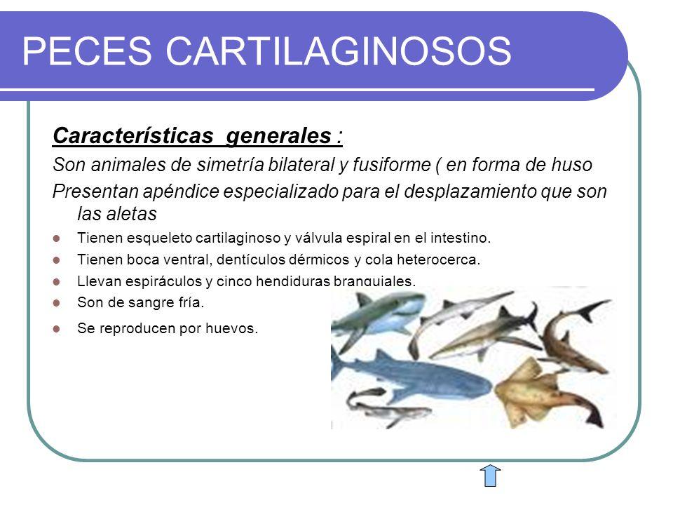 PECES CARTILAGINOSOS Características generales :