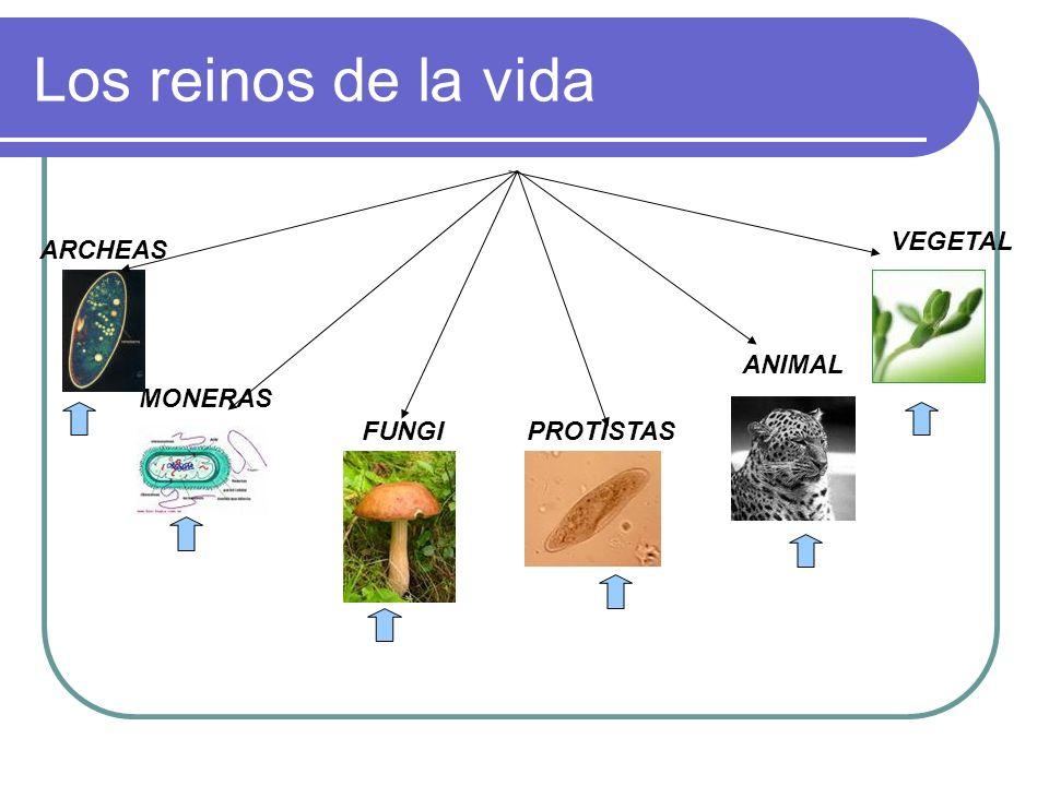 Los reinos de la vida VEGETAL ARCHEAS ANIMAL MONERAS FUNGI PROTISTAS