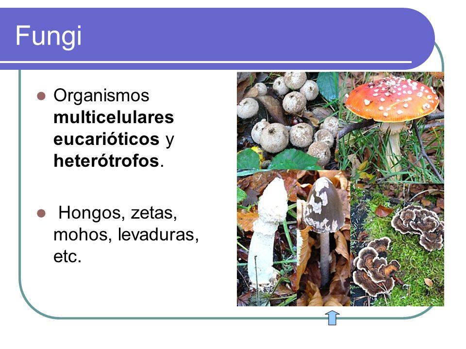 Fungi Organismos multicelulares eucarióticos y heterótrofos.