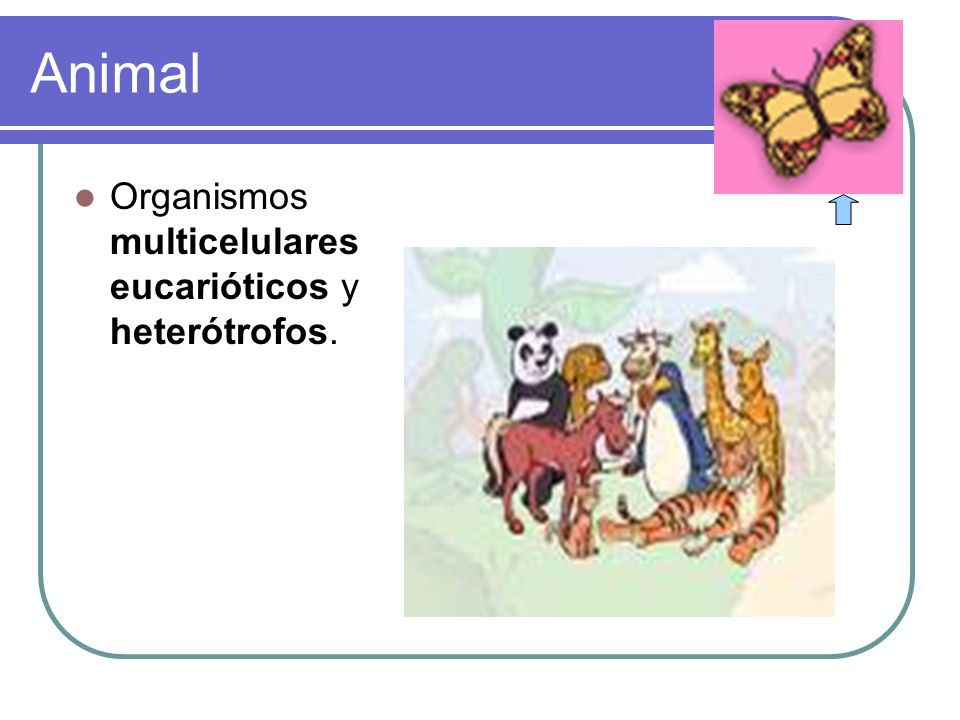 Animal Organismos multicelulares eucarióticos y heterótrofos.