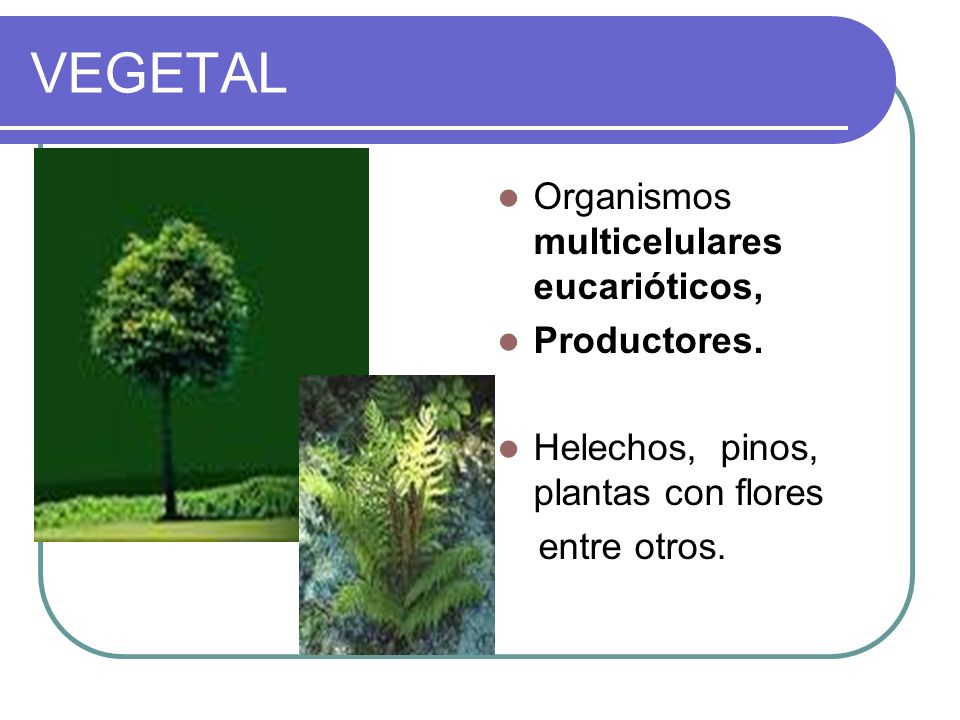 VEGETAL Organismos multicelulares eucarióticos, Productores.