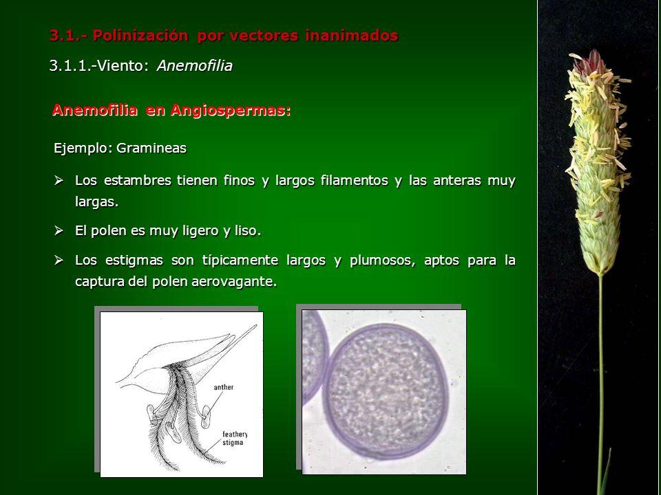 3.1.- Polinización por vectores inanimados 3.1.1.-Viento: Anemofilia