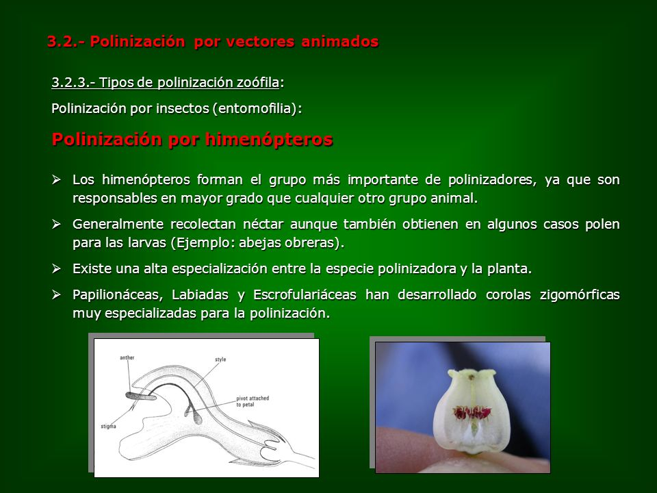 Polinización por himenópteros