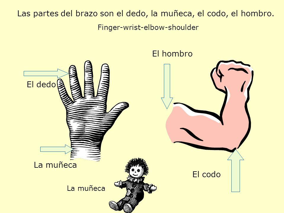 Las partes del brazo son el dedo, la muñeca, el codo, el hombro.