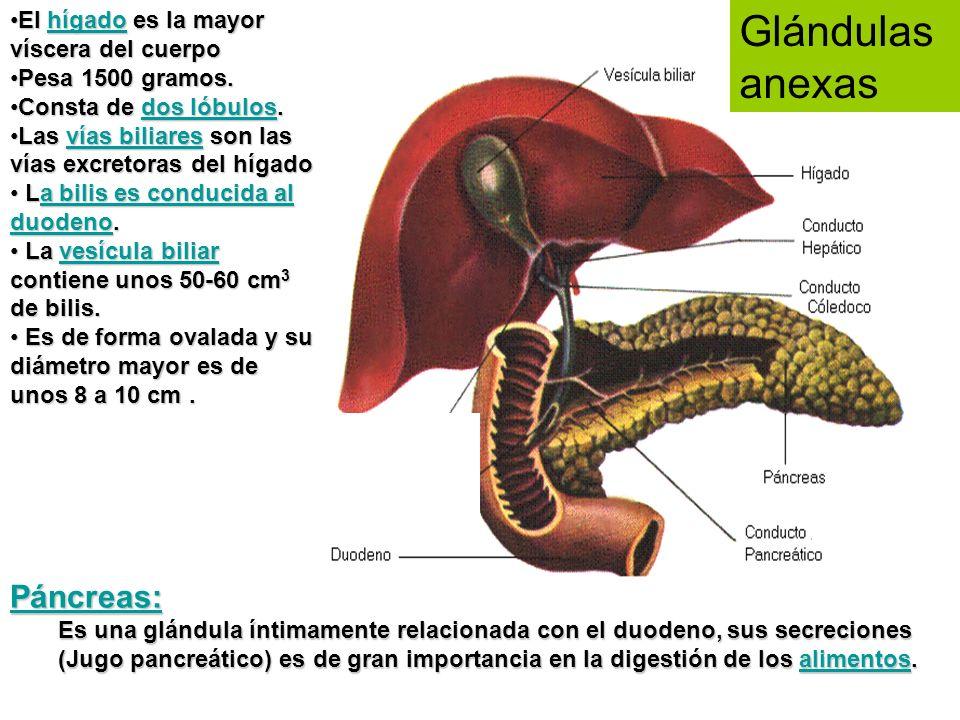 Glándulas anexas Páncreas: El hígado es la mayor víscera del cuerpo