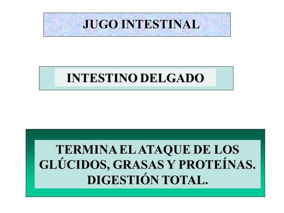 JUGO INTESTINAL INTESTINO DELGADO. TERMINA EL ATAQUE DE LOS GLÚCIDOS, GRASAS Y PROTEÍNAS.