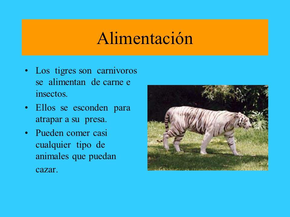 Alimentación Los tigres son carnivoros se alimentan de carne e insectos. Ellos se esconden para atrapar a su presa.