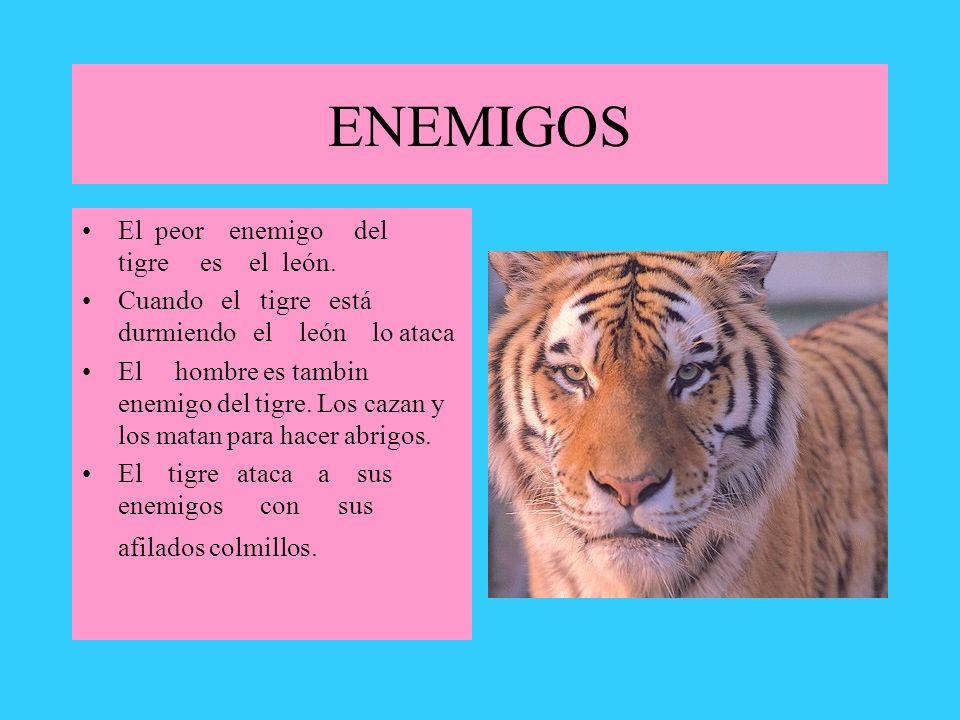 ENEMIGOS El peor enemigo del tigre es el león.