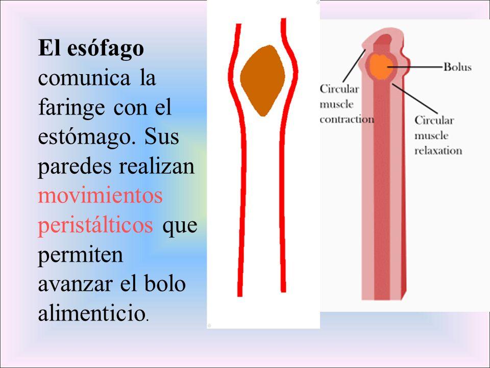 El esófago comunica la faringe con el estómago