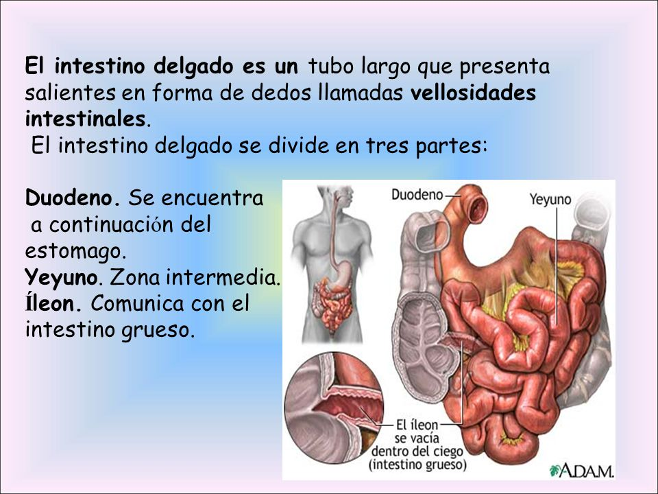 El intestino delgado se divide en tres partes: Duodeno. Se encuentra