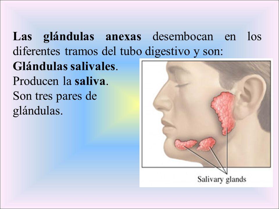 Las glándulas anexas desembocan en los diferentes tramos del tubo digestivo y son: