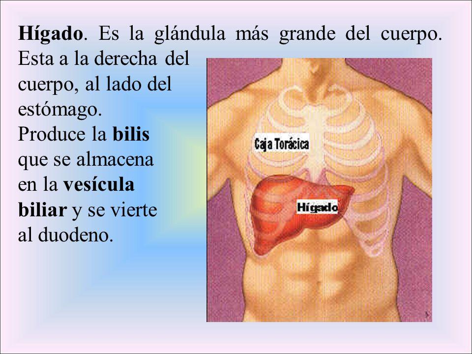 Hígado. Es la glándula más grande del cuerpo. Esta a la derecha del