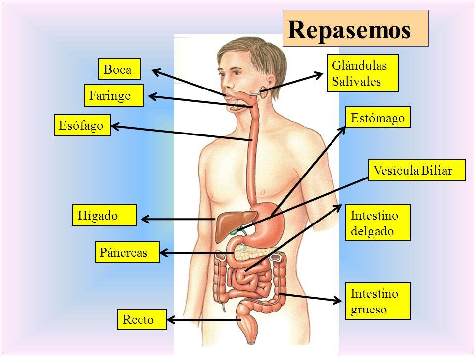 Repasemos Glándulas Salivales Boca Faringe Estómago Esófago