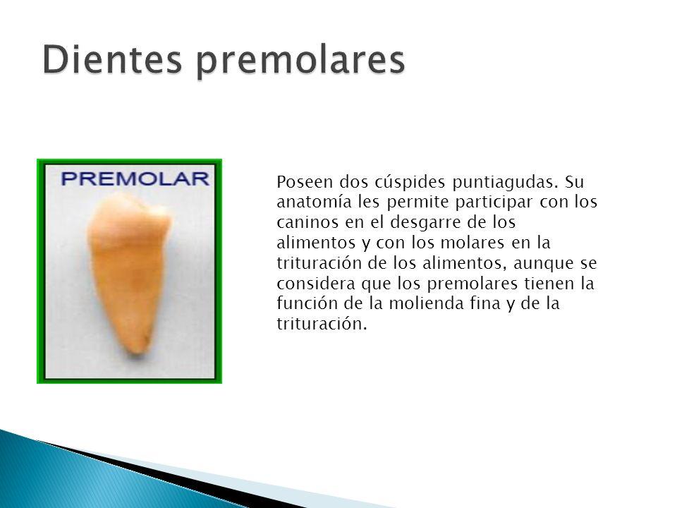 Dientes premolares