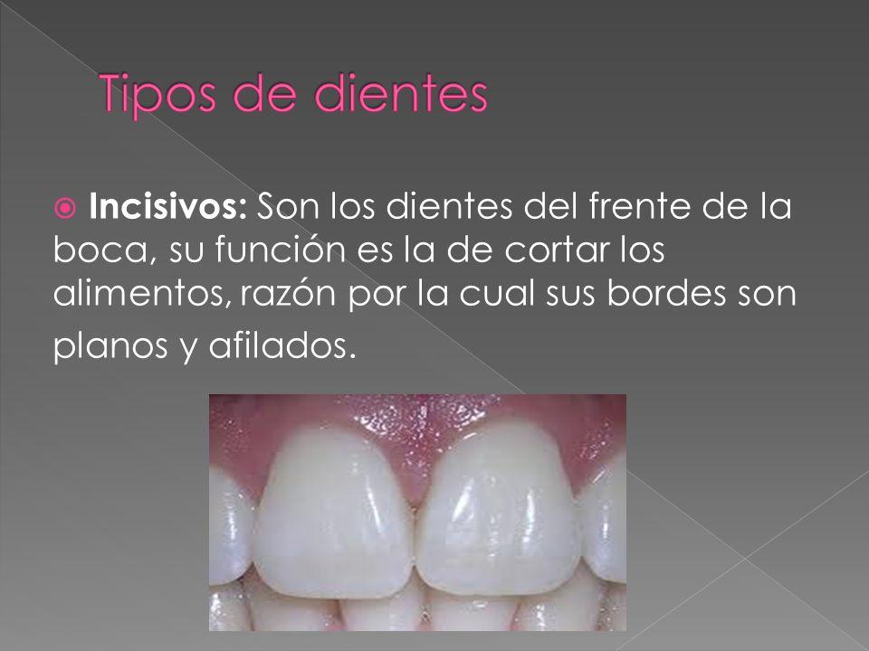 Tipos de dientes Incisivos: Son los dientes del frente de la boca, su función es la de cortar los alimentos, razón por la cual sus bordes son.