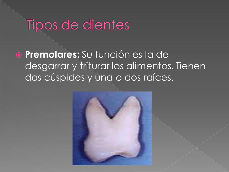 Premolares: Su función es la de desgarrar y triturar los alimentos