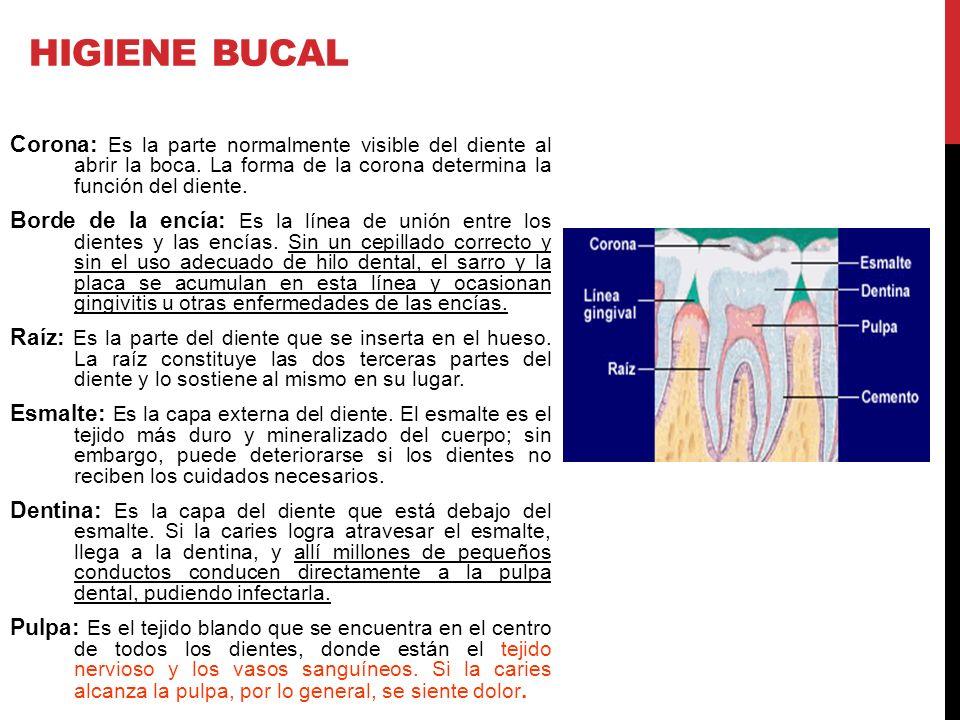 HIGIENE BUCAL Corona: Es la parte normalmente visible del diente al abrir la boca. La forma de la corona determina la función del diente.