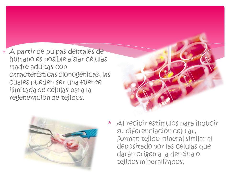 A partir de pulpas dentales de humano es posible aislar células madre adultas con características clonogénicas, las cuales pueden ser una fuente ilimitada de células para la regeneración de tejidos.