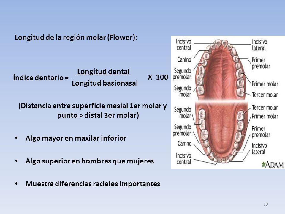 Longitud de la región molar (Flower):