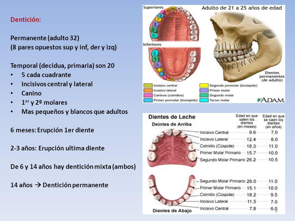 Dentición: Permanente (adulto 32) (8 pares opuestos sup y inf, der y izq) Temporal (decidua, primaria) son 20.