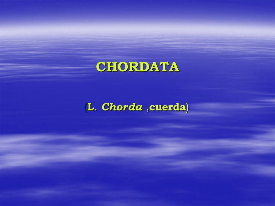 CHORDATA (L. Chorda ,cuerda)