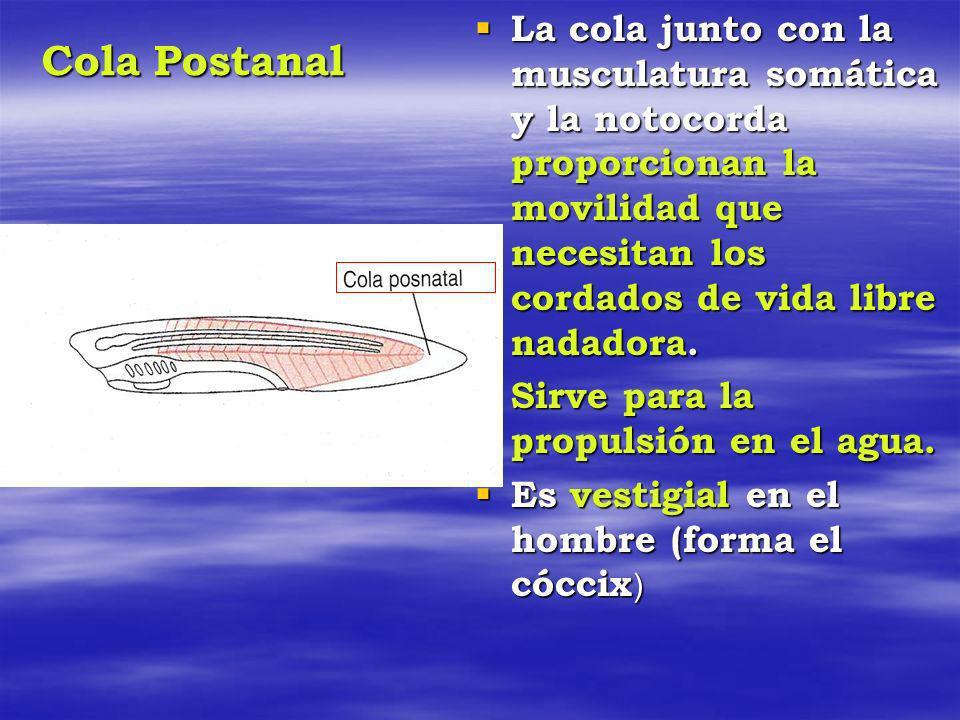 La cola junto con la musculatura somática y la notocorda proporcionan la movilidad que necesitan los cordados de vida libre nadadora.